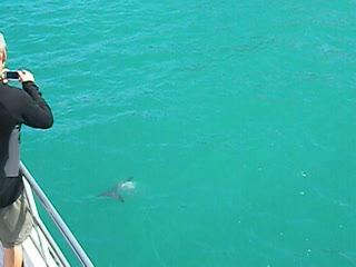 Hector Dolphins at Akaroa