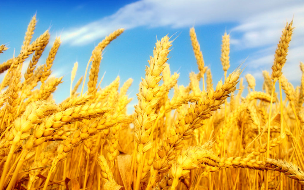8 Wheat