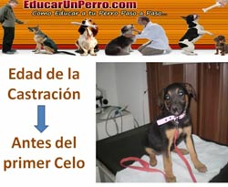Curso vdeo Perros. Pimetra canina