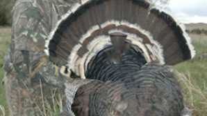 Merriamsturkey guided hunt