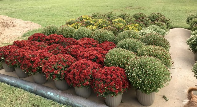 The Mums Are Here!