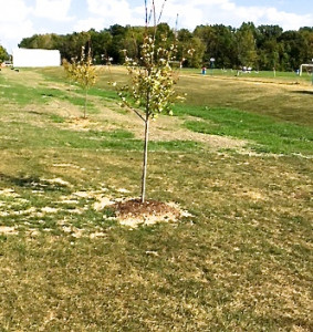 Planted trees at CC course