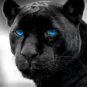 Blue Eyed Panther2