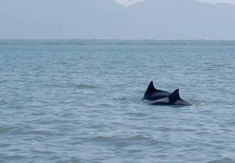 Golfinhos-na-baia-dos-golfinhos-parque-estadual-da-ilha-do-cardoso-rogerio-palatta-1024x713
