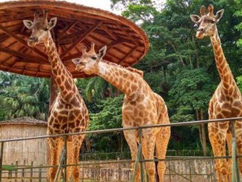 Sppc_zoo_sp_girafas_reproducao_face_zoo-350x263