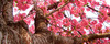 Arvore-sakura-cerejeira
