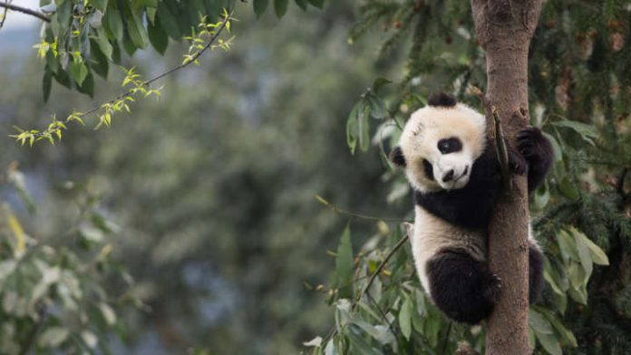 How Pandas Use Their Heads As A Kind Of Extra Limb For Climbing