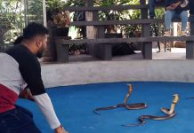Tourist Joins Snake Show With Three King Cobras In Thailand