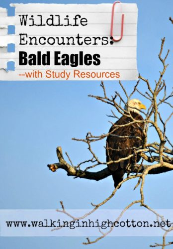 Bald Eagle Encounters with a BIG list of (mostly FREE) Bald Eagle Study Resources. via Walking in High Cotton #homeschool #unitstudy #naturestudy
