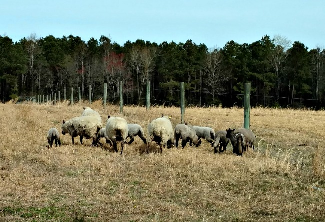 moving lambs to new pasture