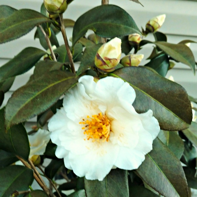carefree flower beds camelia