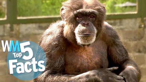 Top 5 Weird & Wild Chimpanzee Facts