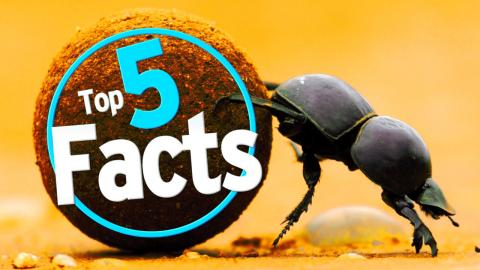 Top 5 Dung Beetle Facts