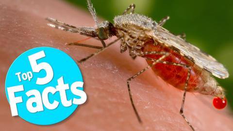 Top 5 Mosquito Facts