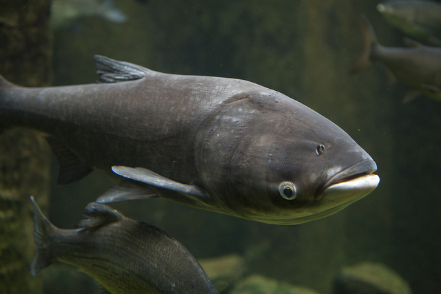 Asian carp dna confirm. join