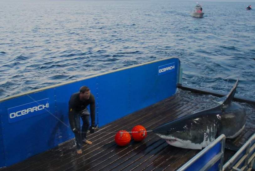 NOAA is tracking this Great White Shark named Mary Lee off the coast of Assateague Island.