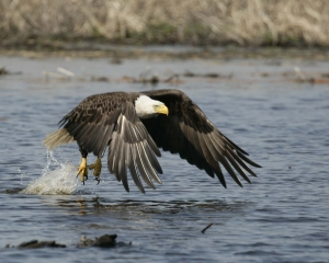 Blackwater NWR to Hold Eagle Festival This Saturday