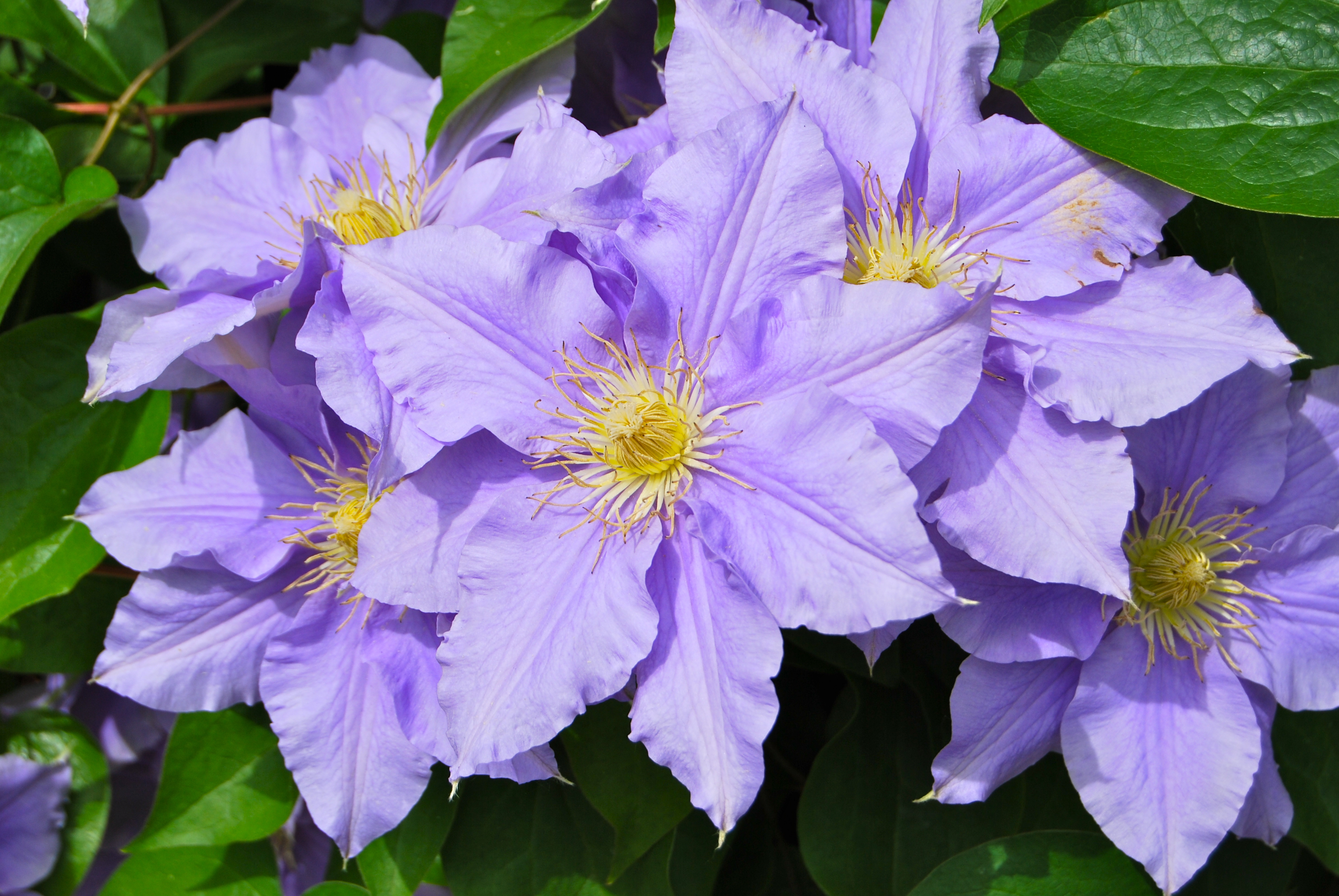 Do you know the difference between annuals vs perennials delmarvalife starr070906 8702impatienshawkeri purpleclematis1 izmirmasajfo Images
