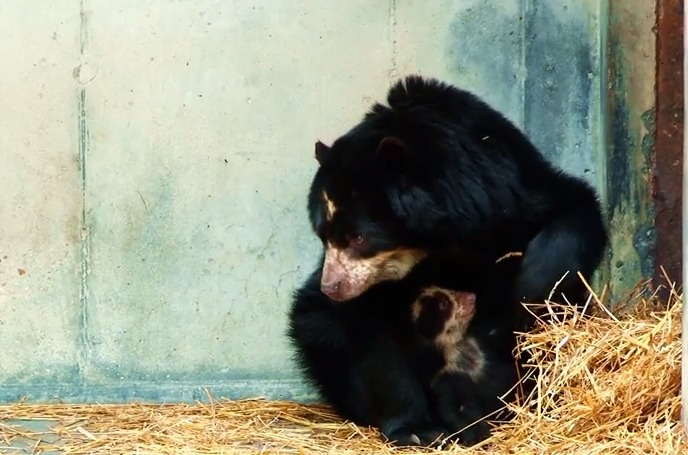 Chaska and Her Three Month Old Bear Cub at the Salisbury Zoo