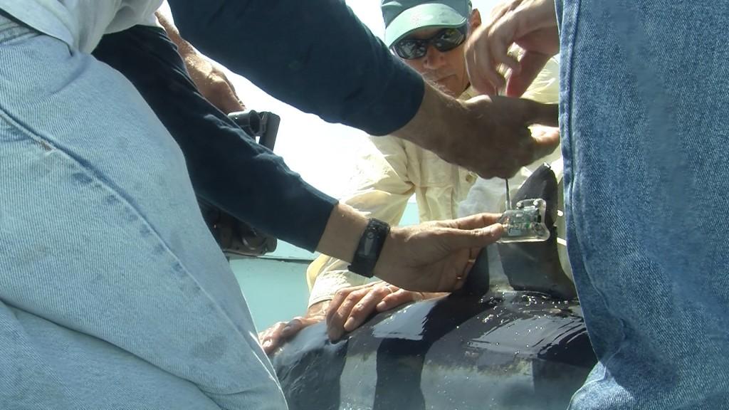 Taggings Sharks on the Delmarva Coast