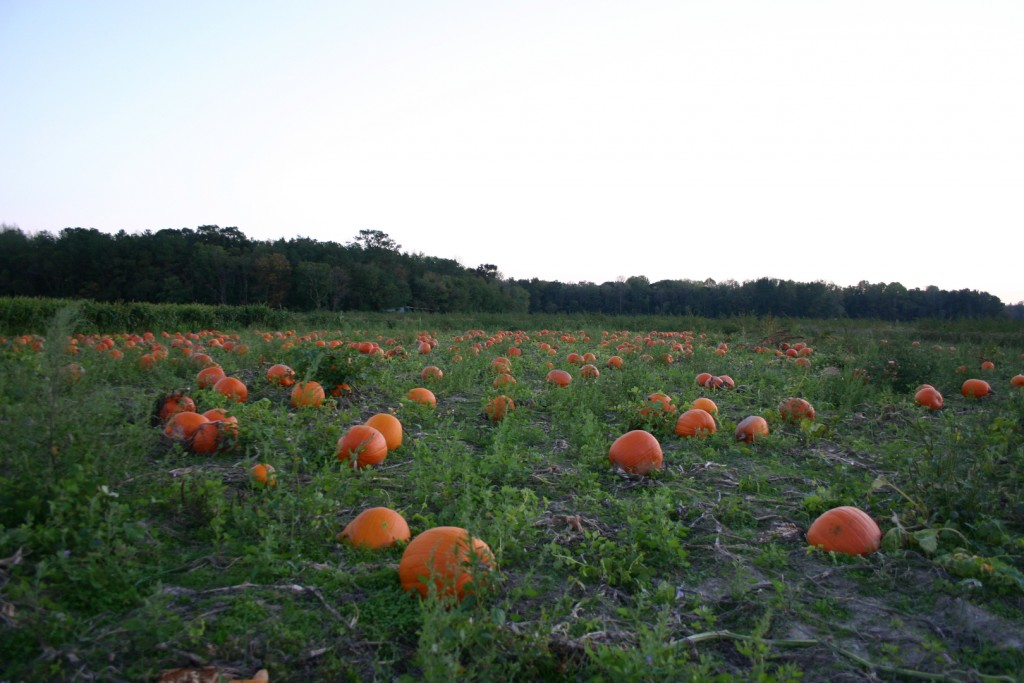 Pumpkin Patches on Delmarva 2015