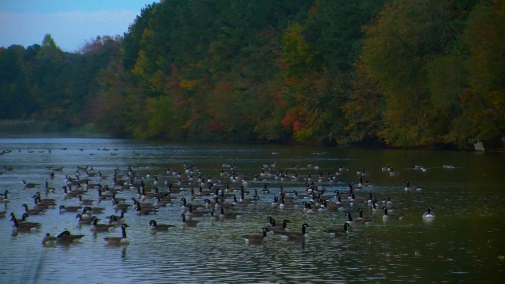 Travels With Charlie: Geese of Morris Prong in Wicomico County