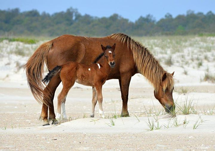 Assateague Island Alliance to Kick Off 'Name That Foal' Fundraising Auction
