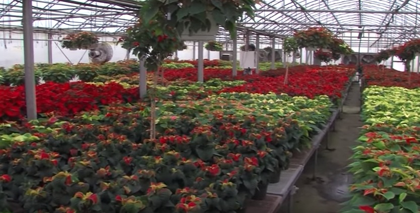 Holiday Plants at Lakeside Greenhouses – Tuesday, Nov. 17, 2015