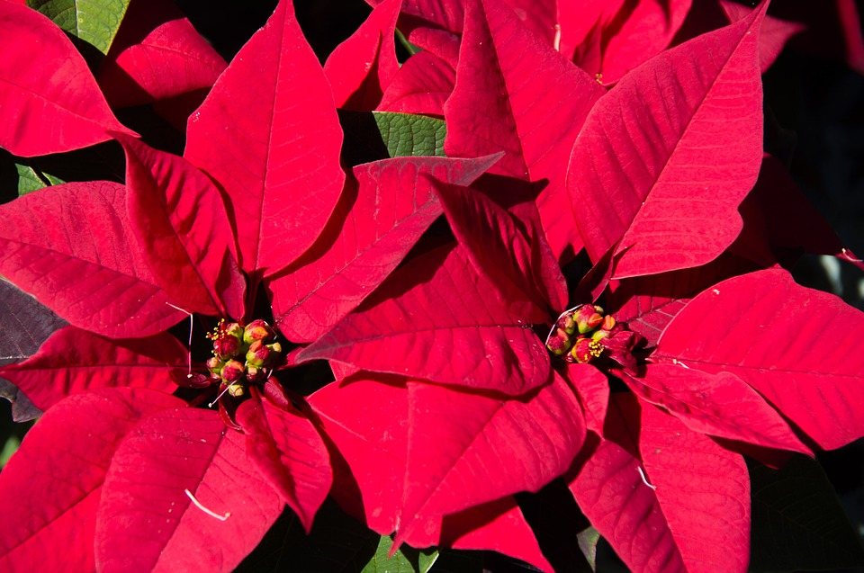 """Poinsettia Pointers"" with Ginny – Friday, December 11, 2015"