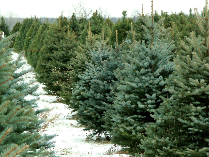 Delaware Continues Christmas Tree Recycling Tradition DelmarvaLife - The Christmas Tree
