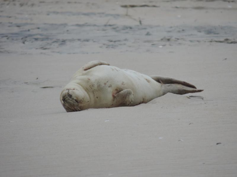 Maryland Coastal Bays Program Weighs In on Seal Sighting