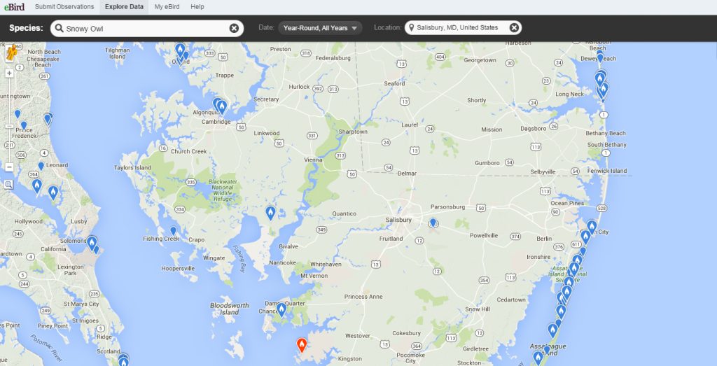 Map of the Snowy Owl population on Delmarva from eBird.
