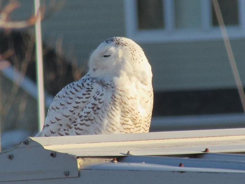 Chesapeake Bay Environmental Center Puts Out Snowy Owl Alert