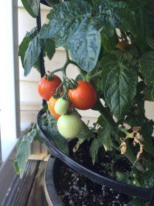 Tomatoes in Sean's vegetable garden