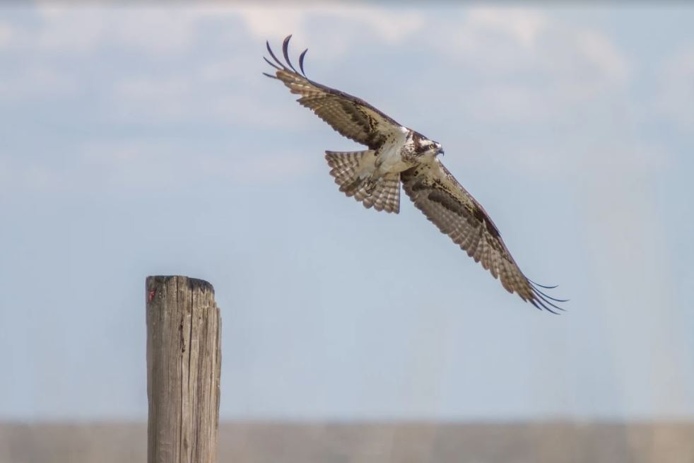 Maryland DNR Bird Expert Shares Stories, Talks Osprey Migration