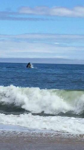 Whale Breaches off Ocean City Coast, Caught on Camera