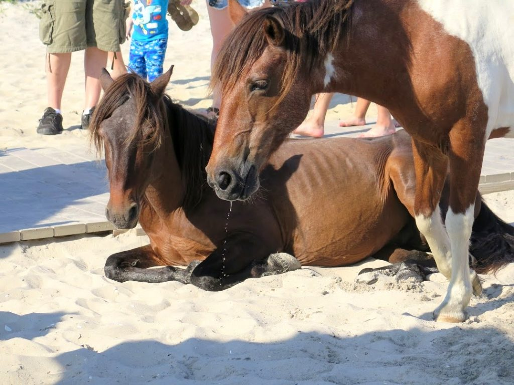 Assateague Island to Debut Horse Identifying App