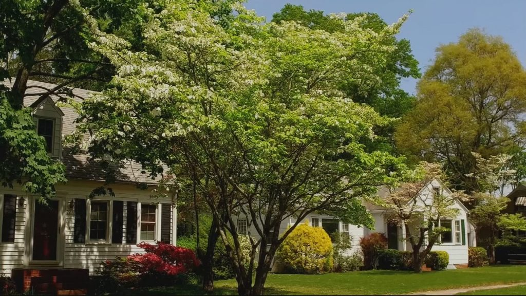 Travels With Charlie: White Dogwood Tree