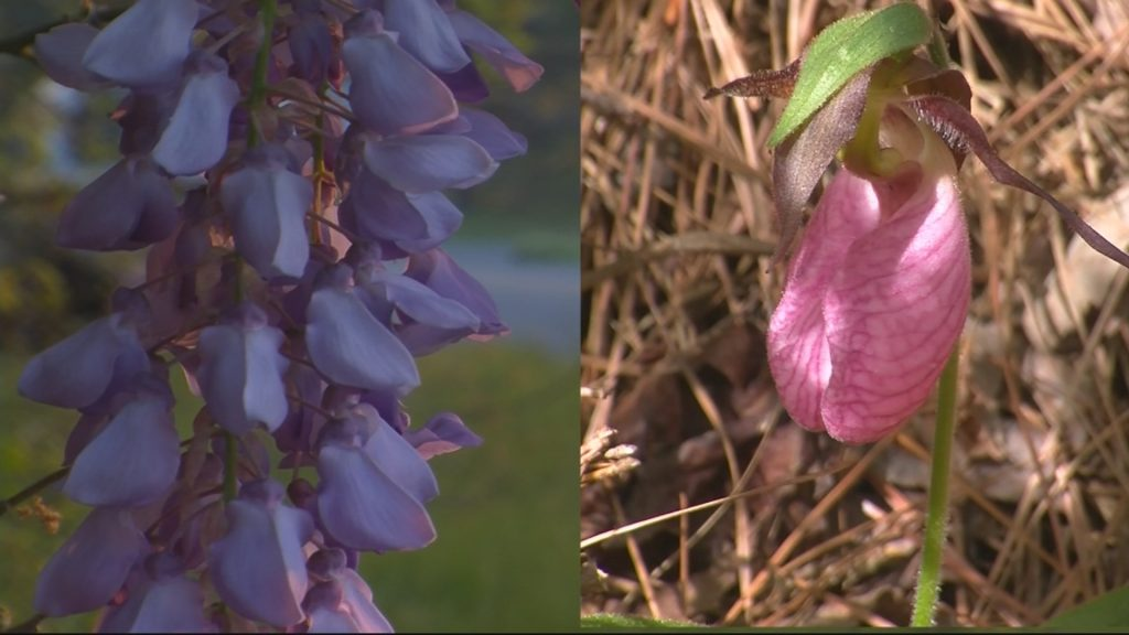 Travels With Charlie: Wisteria Vs. Moccasin Flowers