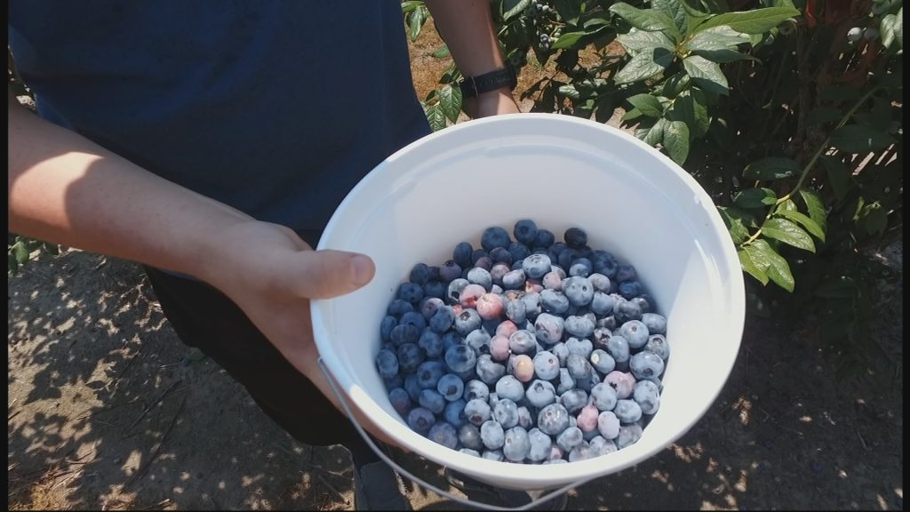 Travels With Charlie: Picking Blueberries at Garden of Eden