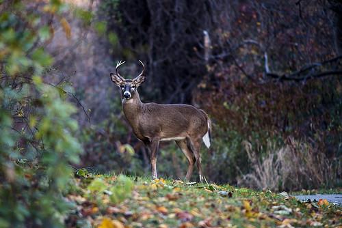 Deer Archery Season Opens in Maryland Sept. 8
