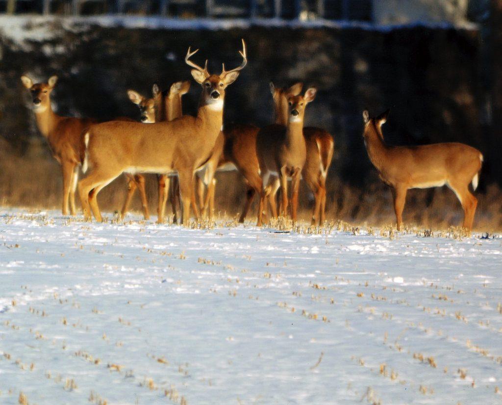 Maryland Hunters Harvest 34,000 Deer during Firearm Season