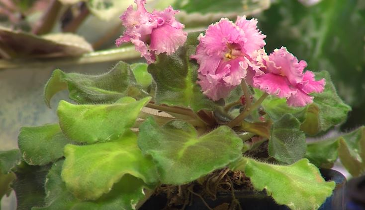 Gardening with Ginny – African Violets