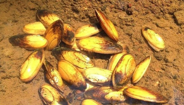 Freshwater Mid-Atlantic Mussel Will be Listed as Threatened