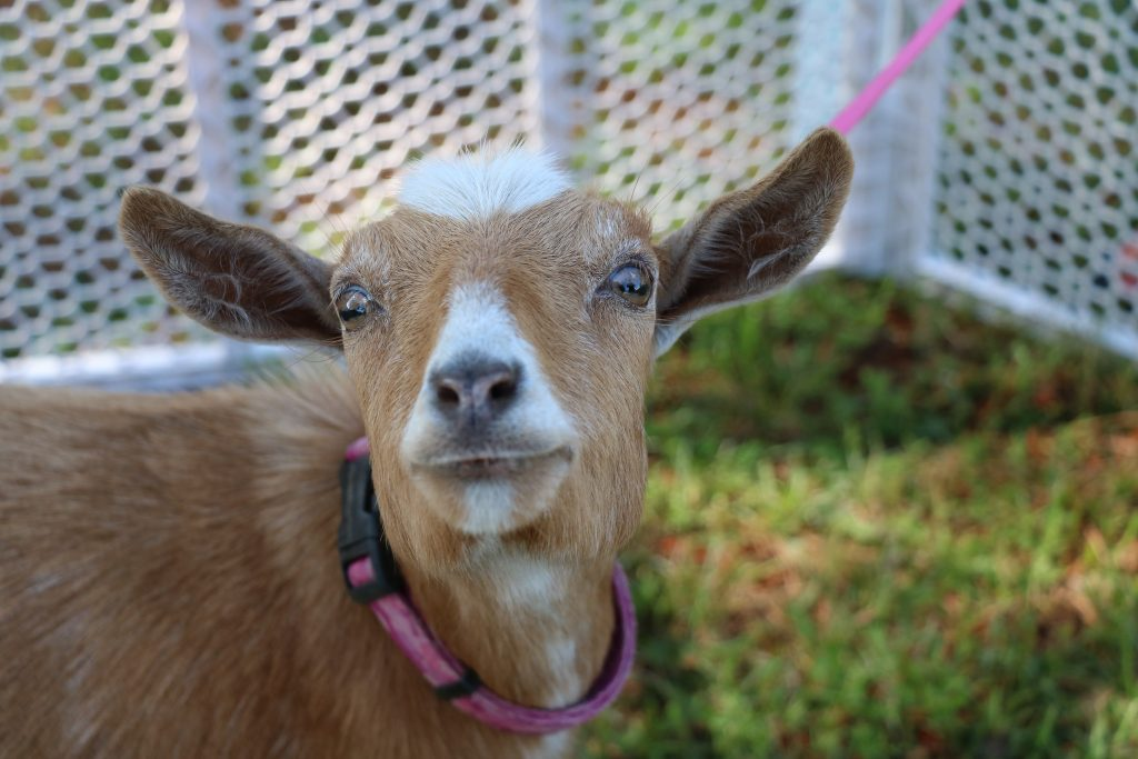 """Learning About the Book, """"Bullying is Baaad!"""" with Blondie the Goat"""