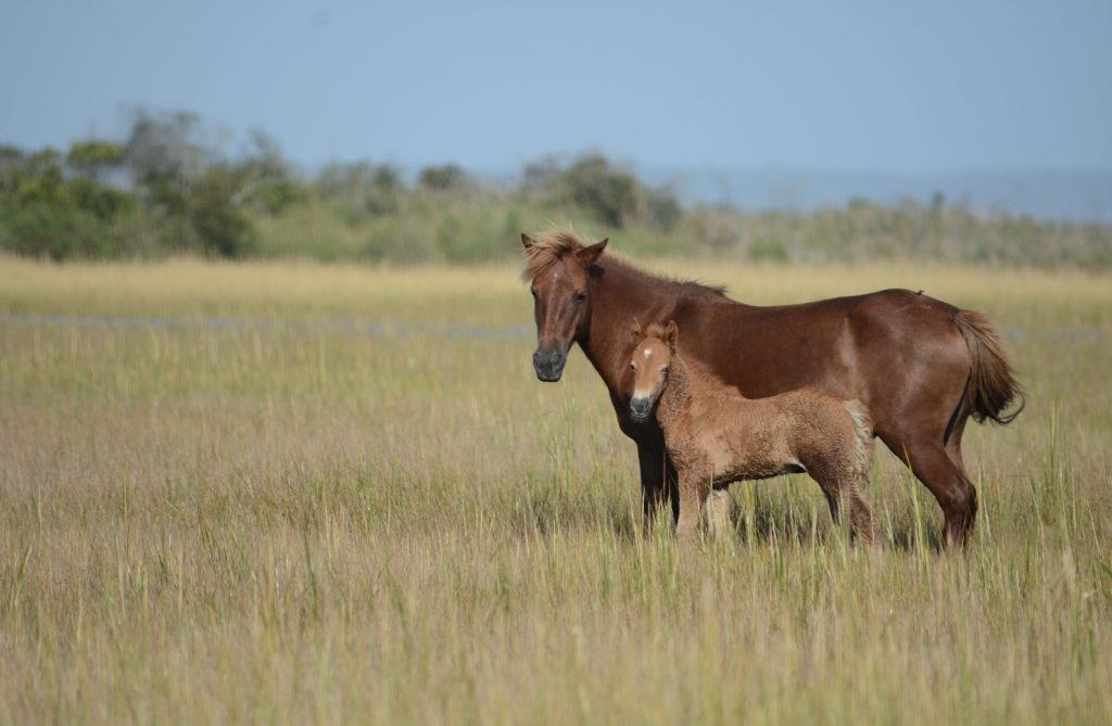 NPS Completes Population Census of Assateague's Wild Horse Herd