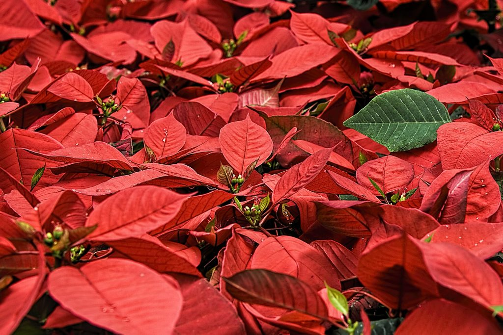 Gardening with Ginny – Gardening Trends and How to Make Your Poinsettia Last Longer