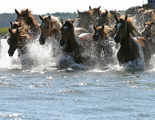 Chincoteague Pony Swim Canceled For The First Time Since World War II
