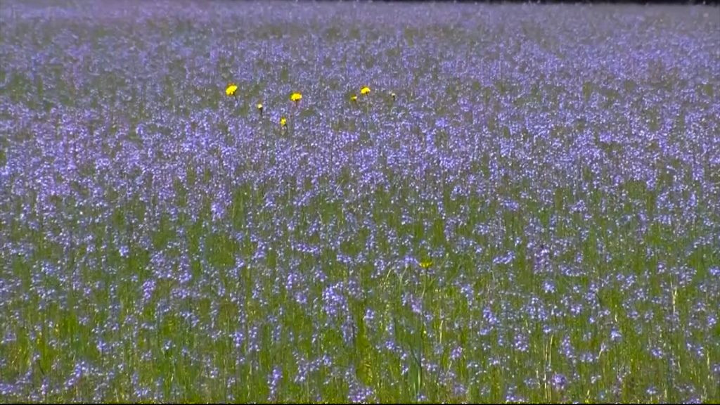 Travels With Charlie: Blue Eyed Grass