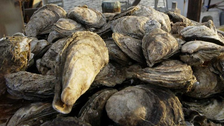 DNREC to Evaluate Oyster Beds in Murderkill River and Delaware Bay